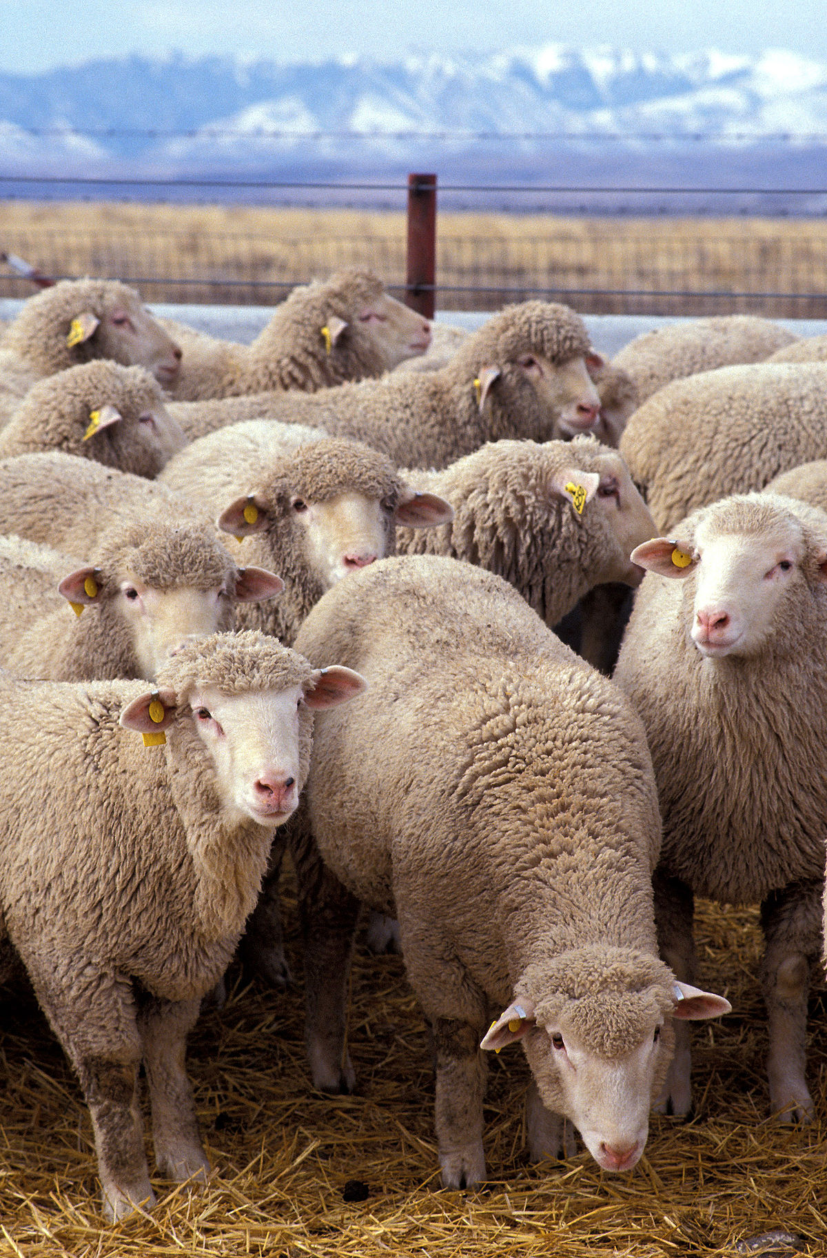 1200px-Flock_of_sheep